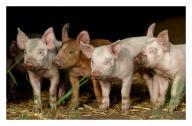 Angehängtes Bild: schweinereihe.jpg
